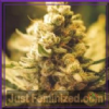 Female Lemon Kush Female 10 Cannabis Seeds